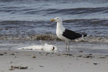 Fressen und gefressen werden. Toter Baby Hai und Möwe am Strand von Lido Beach (NY)