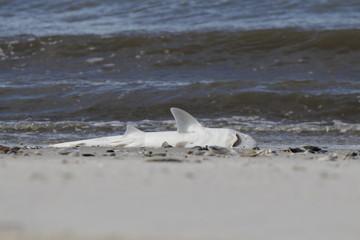 Toter Baby Hai am Strand von Lido Beach (NY) 2