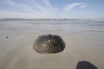 Pfeilschwanzkrebs am Strand von Lido Beach