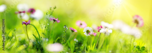 Wall mural Green field with daisy blossoms. Closeup of pink spring flowers on the ground