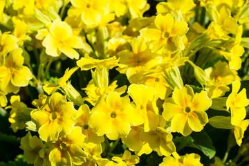 Background of yellow flowers primrose garden