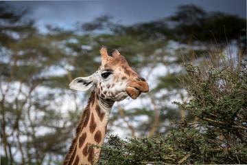 Giraffe in East Africa at Lake Nakuru