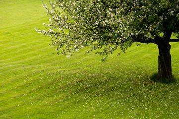Apple tree on a field