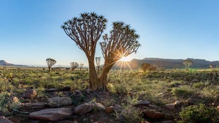 Quiver Tree, Namib Rand Reserve, Namibia
