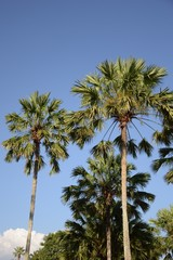areca catechu tree in nature garden