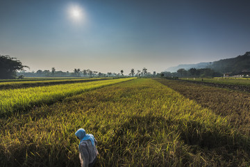 Rice field farming