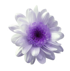 White-purple flower chrysanthemum. Garden flower. White  isolated background with clipping path. ...