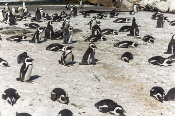 Penguin colony in Betty's bay, South Africa