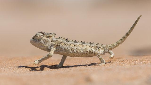 Namaqua Chameleon, Swakopmund, Namibia