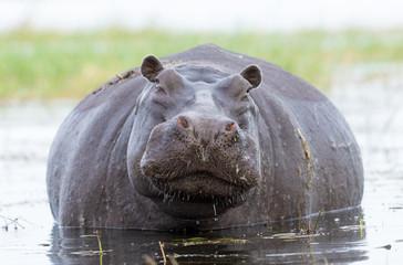 Female Hippo, Chobe, River, Botswana