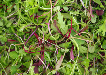 Micro mesclun mixed salad greens closeup view