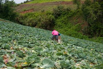 Farmers harvesting in cabbage farm