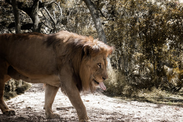 Thirsty Lion walks among dried foliage, Composite