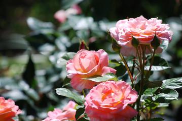 Rose Bush with Flowering Pink Roses