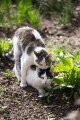 Cats make love in the spring outdoors