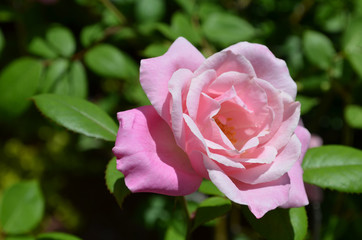Perfectly Pink Rose Blossom in Full Bloom