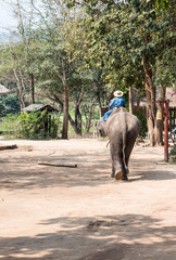 Large elephant with the young mahout.