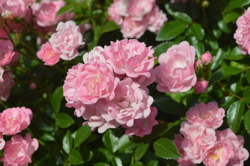 Lots of Blooming Pink Roses in a Rose Garden