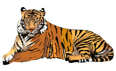 Royal Bengal Tiger illustration, isolated on white background
