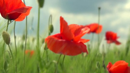 Fotoväggar - Poppy flowers field. Rural landscape with red  blooming poppies. Slow motion video footage 4K UHD video 3840X2160