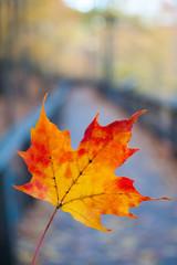 Autumn maple leaf on the wood board