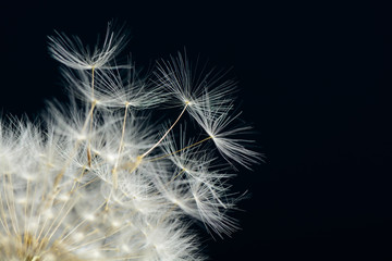 Dandelion on dark background