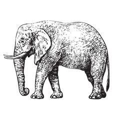 Sketch of African elephant.