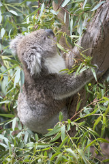 Koala eating gum leaves.