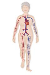Blood circulation, illustration