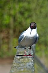 Prerow Gull