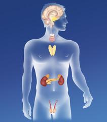 Endocrine gland, illustration