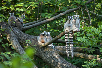 Lemurs with hanging tails sitting on a branch at the edge of the water.