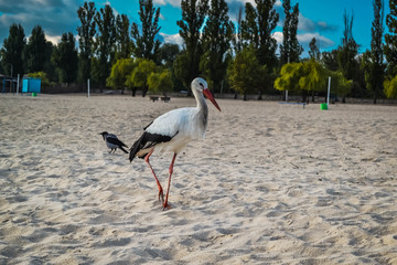 White and black stork on the beach