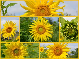 bud and yellow flowers of organic sunflower, collage