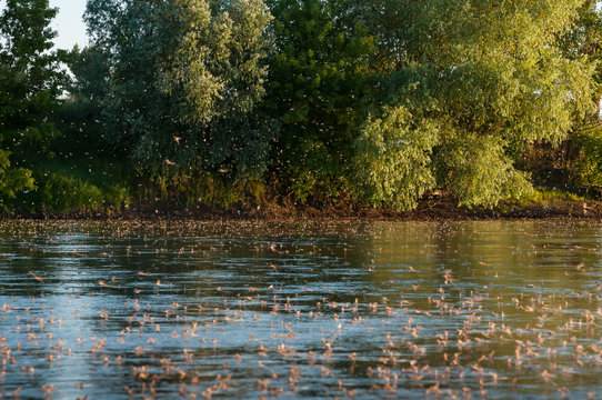 Mayflies above the water
