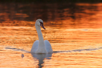 Swan floating on the lake at sunset