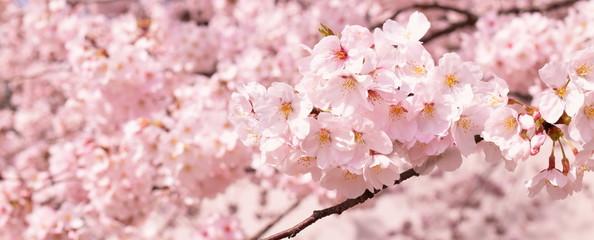 Foto op Canvas Kersenbloesem 満開の桜の花、クローズアップ
