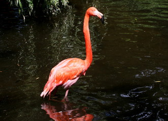 Wading American or Caribbean flamingo (Phoenicopterus ruber)