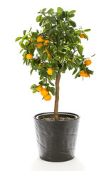 Small tropical calamondin tree in flower pot with many fruits isolated on white background.