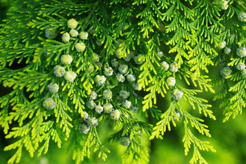 thuja branch with cones Wall mural