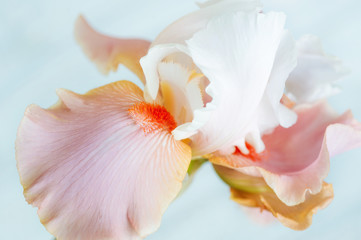 Beautiful australian bearded iris bloom closeup