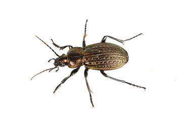 Beetle (Carabus ullrichii) on a white background