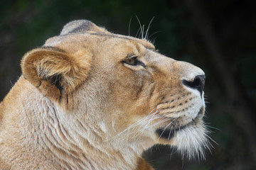 Close up portrait of female African lioness