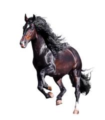 dark bay andalusian stallion runs free isolated on white