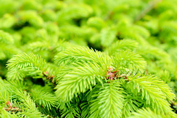 Young fir-tree background