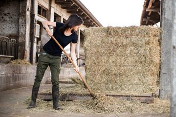 Female organic farmer pitch forking hay on dairy farm