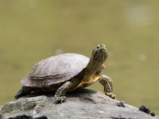 首を伸ばしている亀