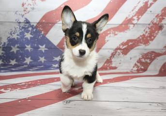 Corgi on American Flag background