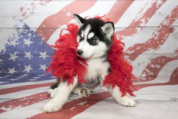 Siberian Husky on American Flag background