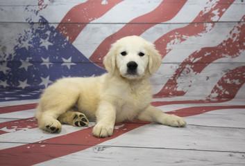 Golden Retriever on American Flag background